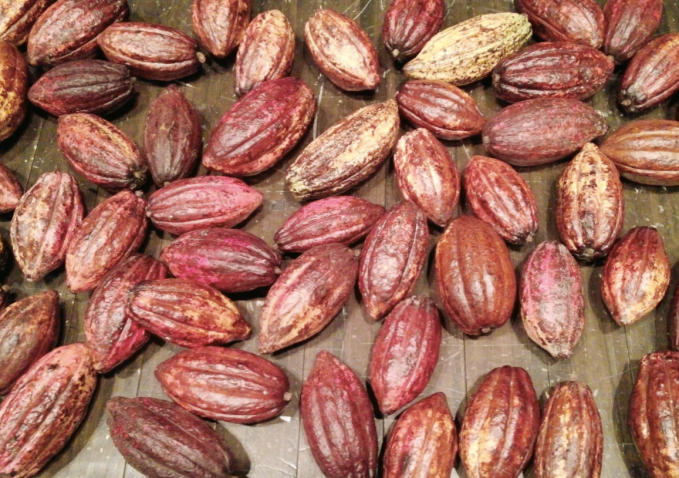 cacaopod1