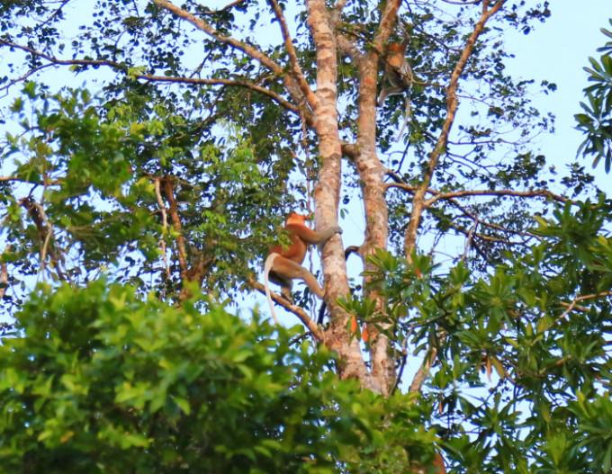 テングザルを探しに行こう!ボルネオ島「リバーサファリ」