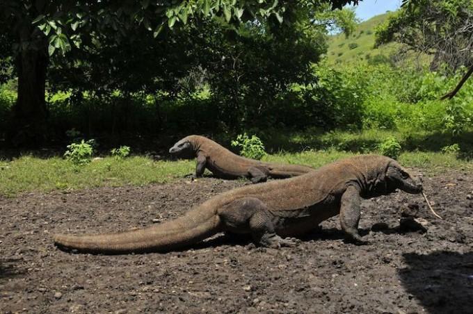 インドネシアの自然遺産はコモドドラゴンにオランウータンと動物祭り!