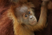 WRS SZ - The yet-unnamed Sumatran orangutan baby is of royal lineage – he is the great-grandson