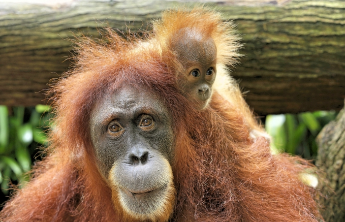 WRS SZ - Chomel, a critically endangered Sumatran orangutan, gave birth to a male on 16 September%_Fotor