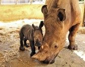 WRS SZ - Donza, a Southern white rhinoceros, had her 8th successful calf in November_Fotor
