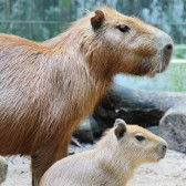 WRS RS - River Safari welcomed six capybara pups, in three separate litters, to the park's collect_Fotor