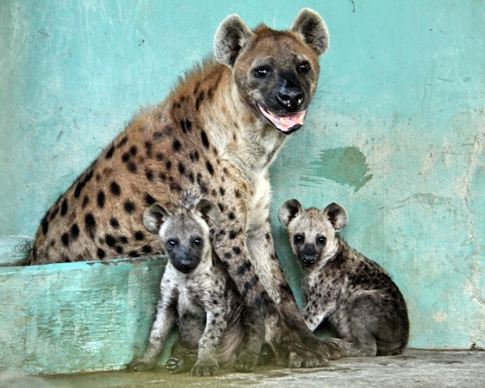 WRS NS - Night Safari's cackle of spotted hyenas added two more to their family in October_Fotor