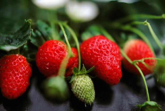Strawberry Farm - Cameron Highlands