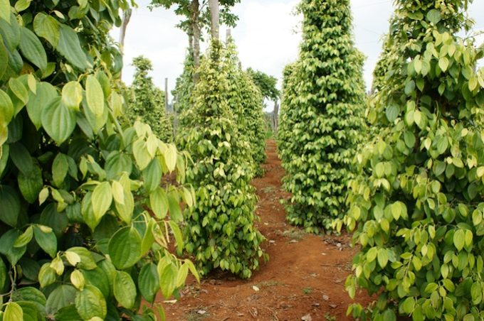 Pepper field at Gia Lai, Viet Nam, group of pepper plant in green, this farm product is export product from Vietnam to Asia, vegetable growing in bush, and plant in many aea as Binh Phuoc, Daklak