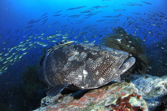 初心者からOK!魚影濃厚&ジンベエザメも狙える「タオ島」