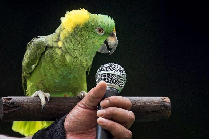 JBP45 - Amigo the yellow-naped Amazon parrot sings Happy Birthday_Fotor